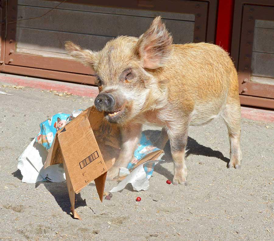 Kunekune pig at Disney's Animal Kingdom