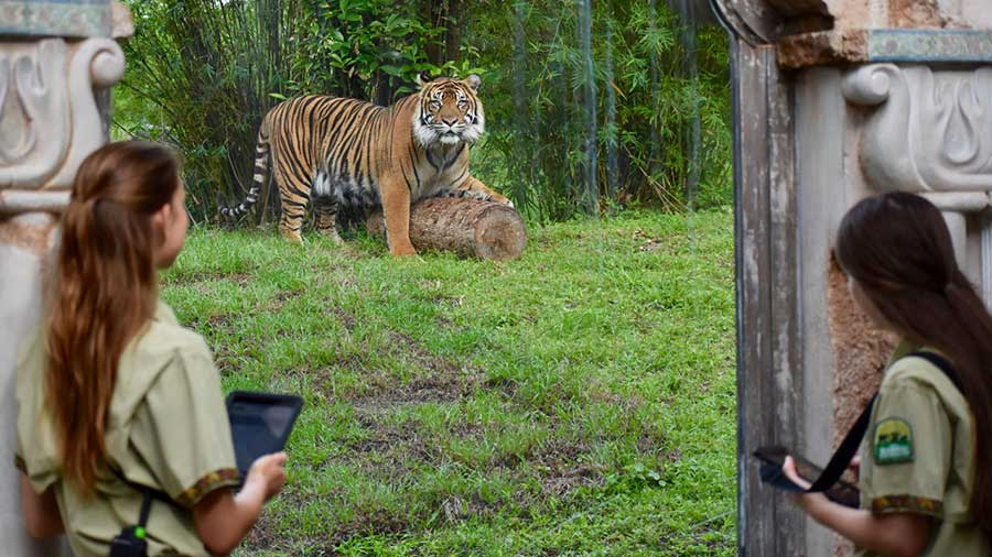 Tigers at Disney's Animal Kingdom