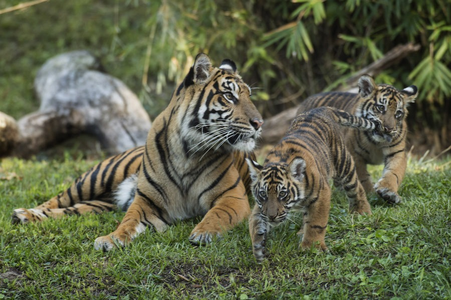4-month-old baby Sumatran tigers, Anala and Jeda