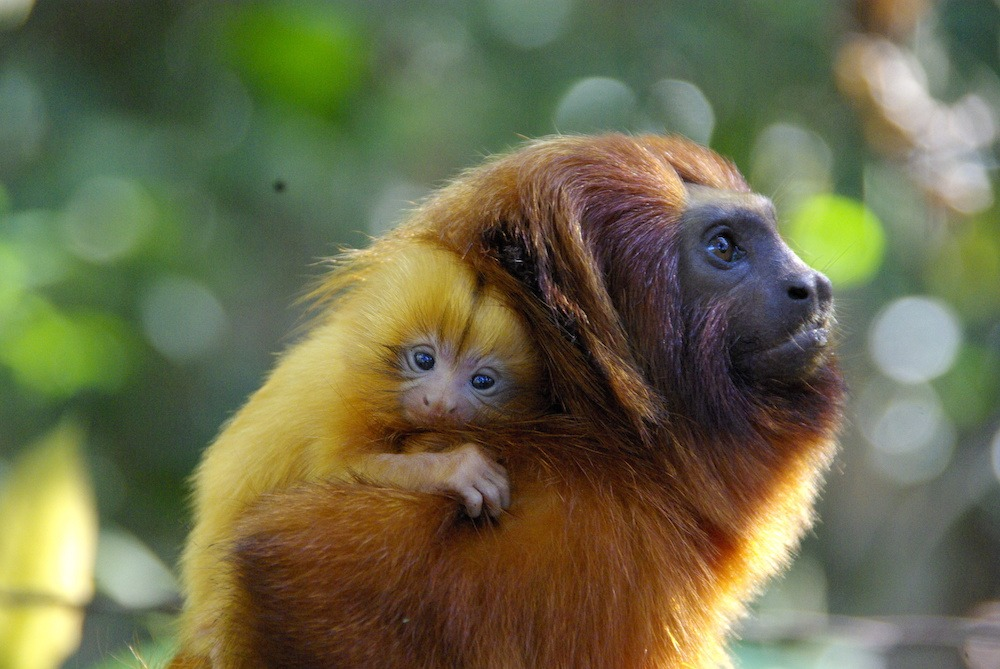 Adult cotton-top tamarin carrying an infant