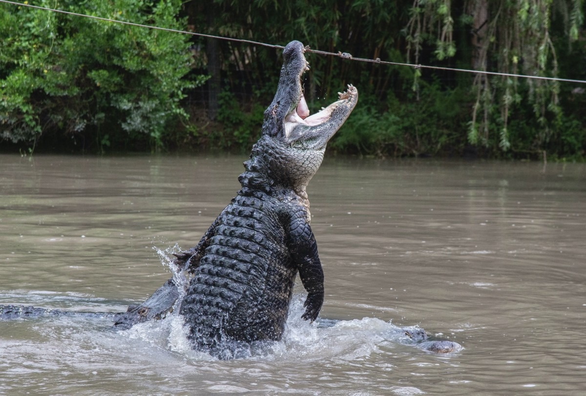 Wild Florida hosts 4th Annual Gator Week promoting alligator conservation & family fun 2