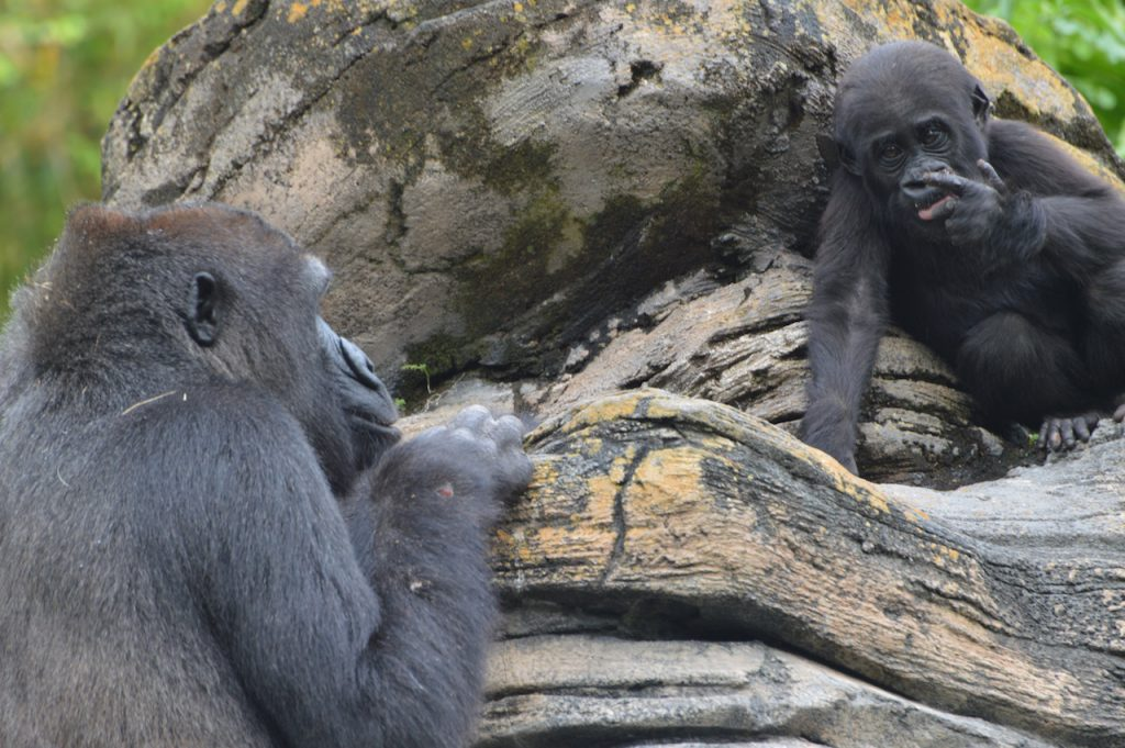 Western lowland gorilla Grace and mother Kashata at Disney's Animal Kingdom