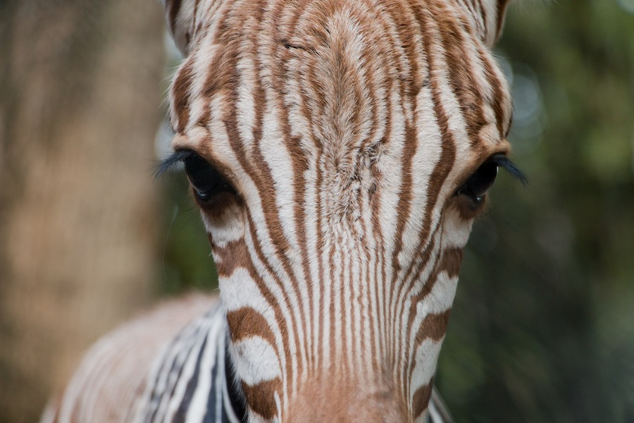 Phoenix the Zebra Foal Born at Disney's Animal Kingdom Lodge