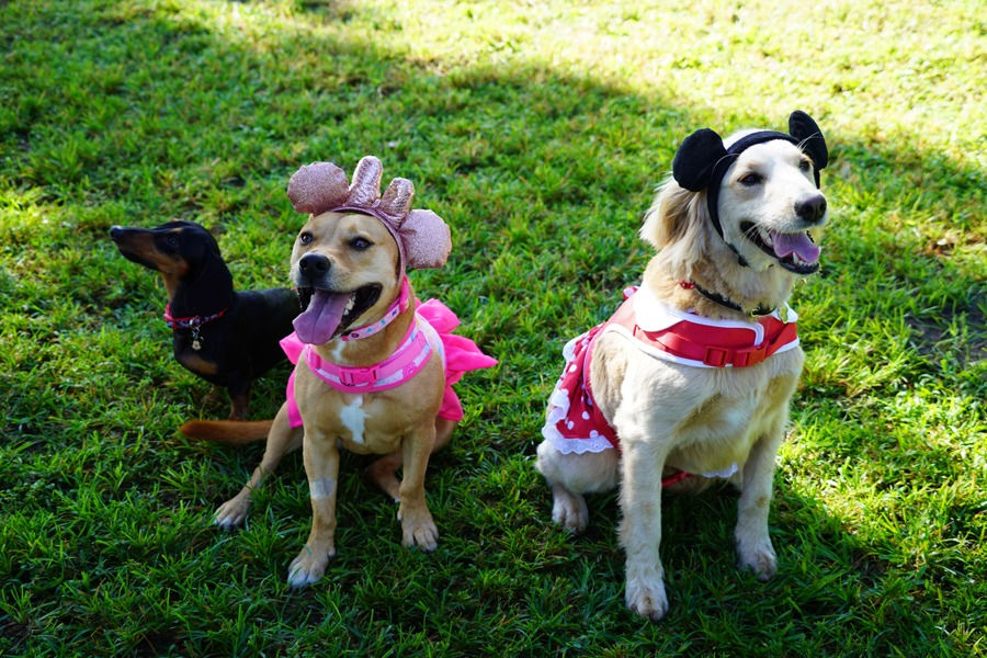 Dogs wearing Mickey Mouse Collar, Disney Princess Dog Comfort Harness and Minnie Mouse Costume Harness