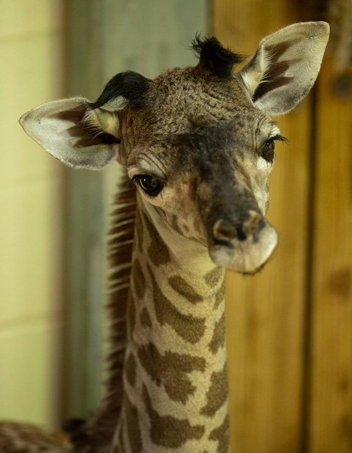 Baby giraffe born at Disney's Animal Kingdom