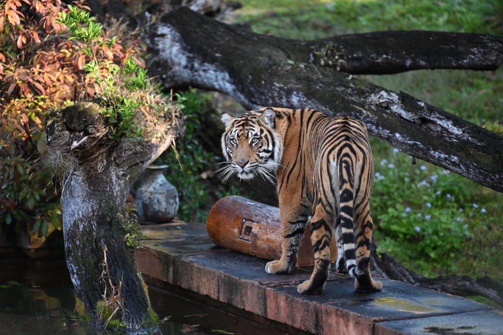 Anala, the Sumatran tiger, near a camera log.