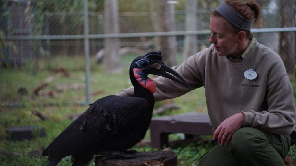 Keeper Mel Hall cares for Cassanova, an Abyssinian Ground Hornbill.