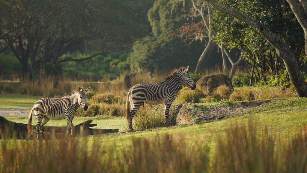 Zebras at Disney's Animal Kingdom