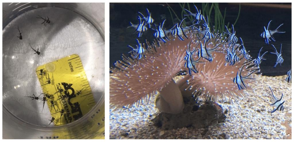 Banggai cardinalfish at EPCOT