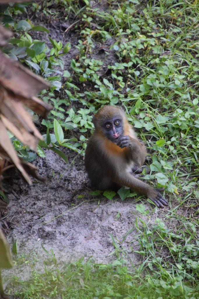 Olive, the littlest mandrill in the troop at Disney's Animal Kingdom