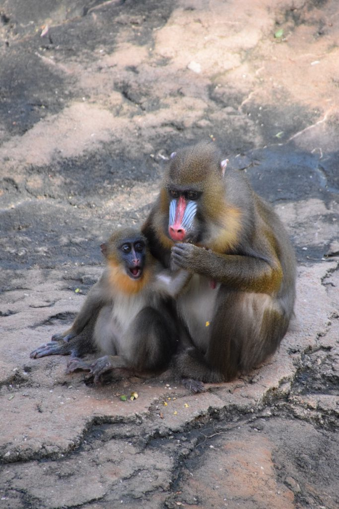 Olive, the littlest mandrill in the troop, and her mother at Disney's Animal Kingdom