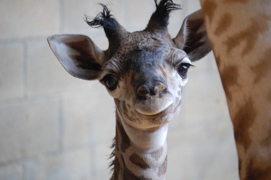 Female Masai giraffe Maple at Disney's Animal Kingdom