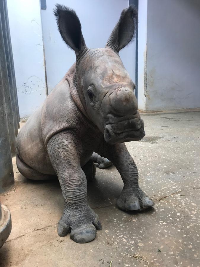 Male white rhinoceros at Disney's Animal Kingdom