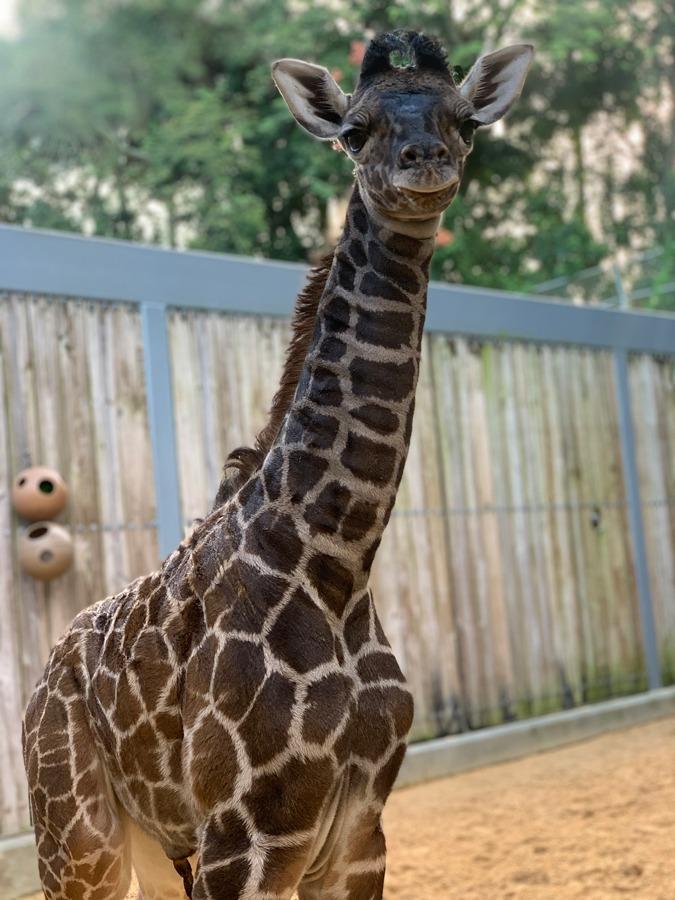 Female Masai giraffe Zella at Disney's Animal Kingdom